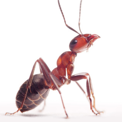 Ameisenbekämpfung - Ameisen bekämpfen leicht gemacht